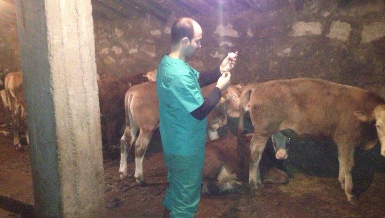 Ağrı'da Şap Hastalığı Aşılama Kampanyası Başladı