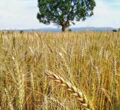 """""""Ağrı, Kars, Iğdır ve Erzurum'da kuraklık nedeniyle çiftçiler zor durumda"""