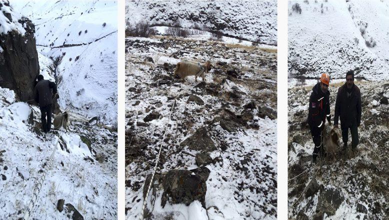 Ağrı'da Kayalıklarda Mahsur Kalan Keçiye AFAD Yetişti