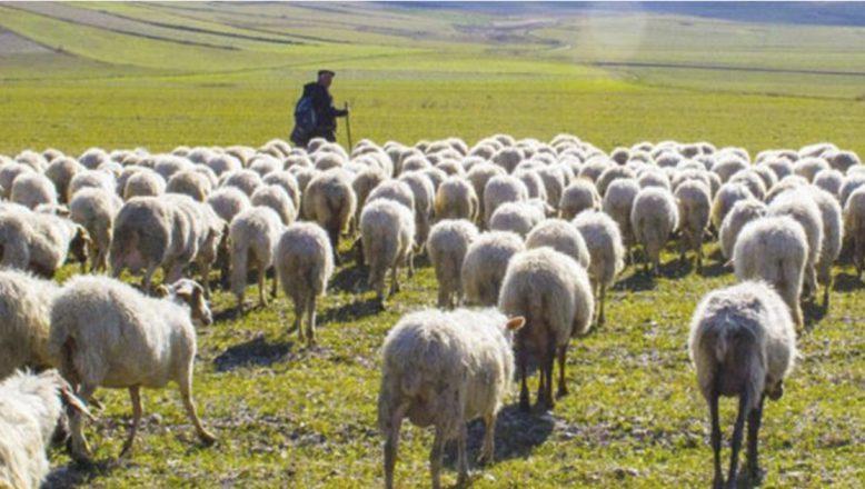 Bakan Pakdemirli: Elli üç milyon liralık çoban desteği ödemeleri bugün başlıyor!
