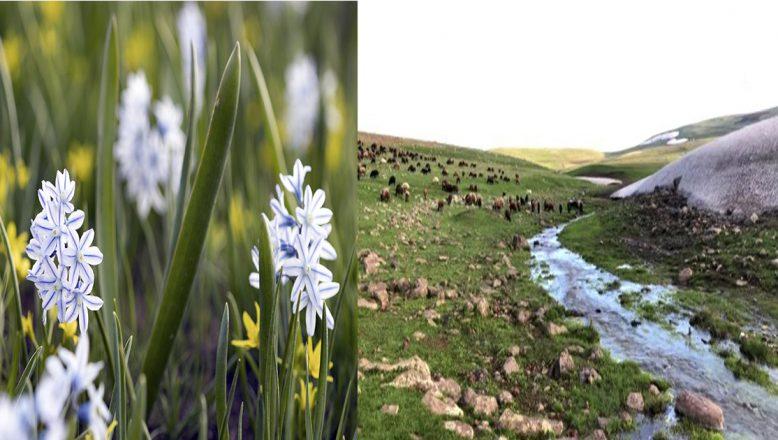 Aras Dağları kar sümbülleriyle görsel şölen sunuyor