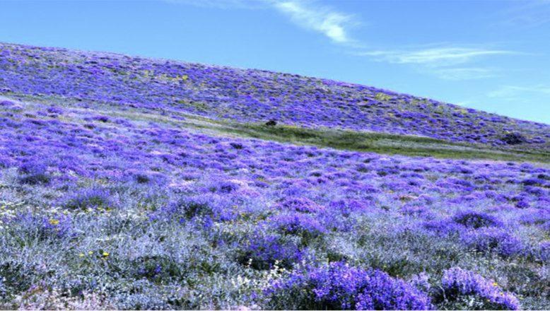 Ağrı'nın dağları mor çiçeklere büründü, görenleri büyülüyor