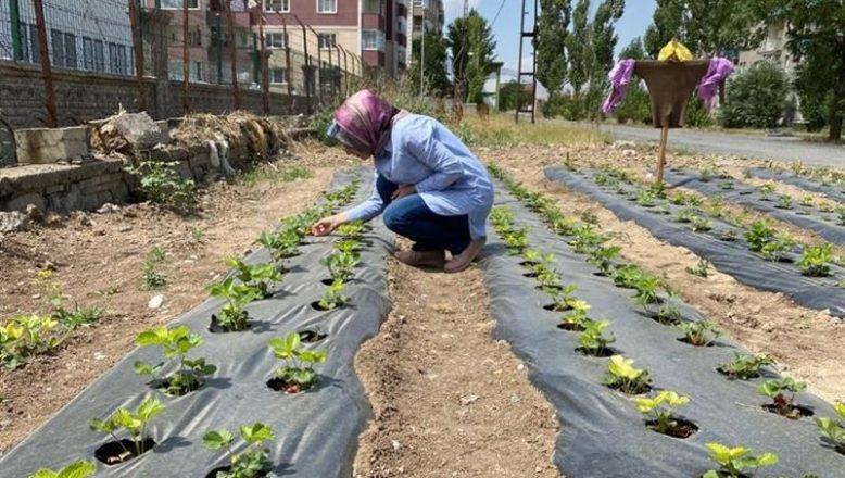 Ağrı'da çilek bahçelerinde kontroller teknik personel tarafından sürdürülüyor